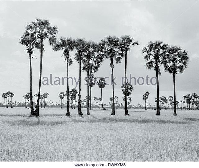 Sugar Palms, Cambodia, South East Asia. - Stock Image