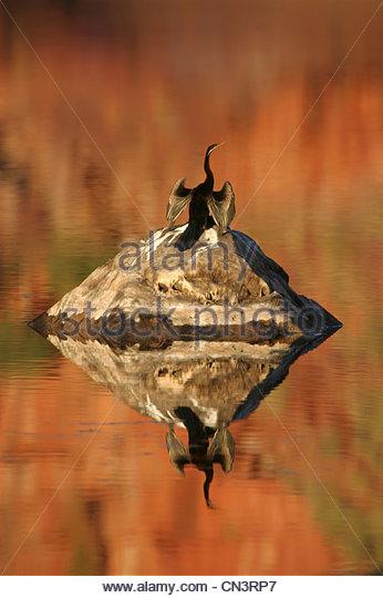 An Australian darter drys its wings in the sun after a dive, Mornington Sanctuary, Western Australia. - Stock Image