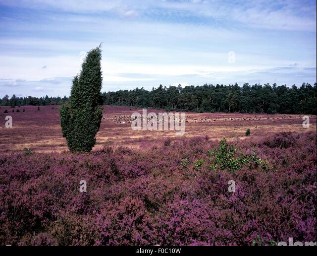 Lueneburger, Heide; bluehende, - Stock-Bilder
