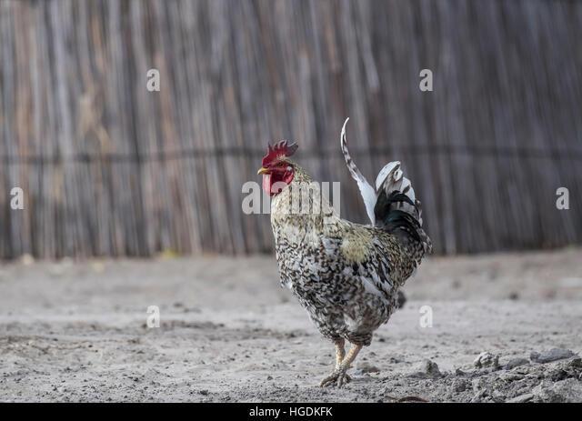 Rooster, Botswana - Stock Image
