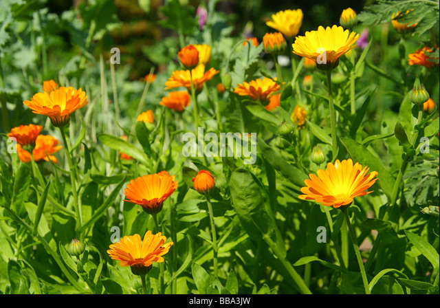 how to grow calendula uk