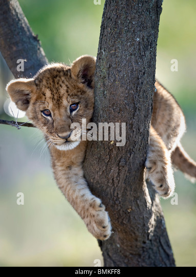 Lion cub about 3 months old, climbing a tree. Near Ndutu, Ngorongoro Conservation Area / Serengeti National Park, - Stock Image