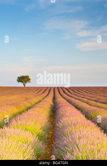 Lavender Field, Provence-Alpes-Cote d'Azur, France - Stock Image