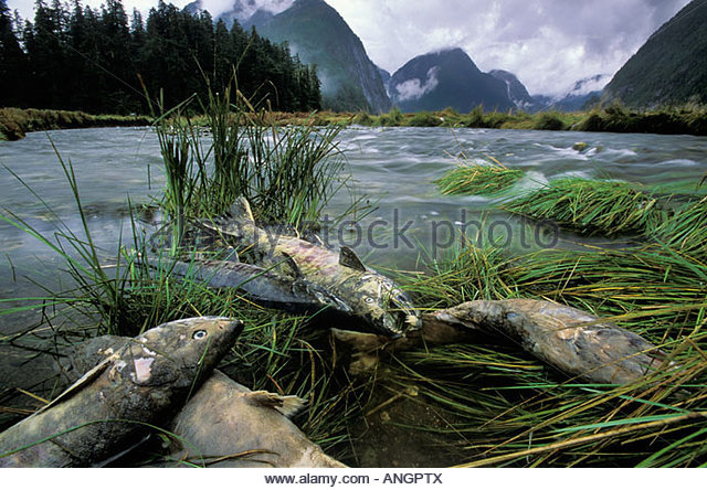 Remains of salmon, BC central coast, Great Bear Rainforest, British Columbia, Canada. - Stock Image