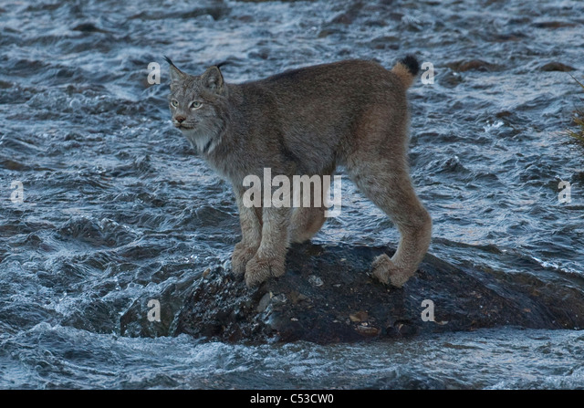 Adult Canada Lynx stands on a rock in the middle of Igloo Creek in Denali National Park and Preserve, Interior Alaska, - Stock Image