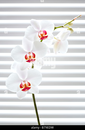 phalaenopsis orchid in front of venetian blinds - Stock Image
