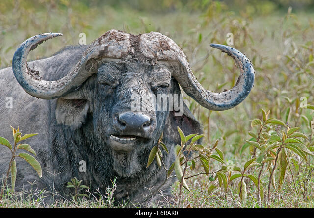 Close up portrait of African Bufallo SYNCHERUS CAFFER lying down chewing the cud masticating in Lake Nakuru National - Stock Image