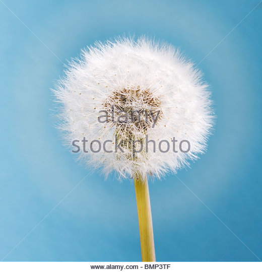 Taraxacum officinale - Dandelion seed head - Stock Image