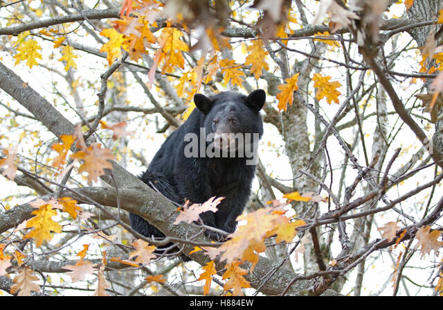 Black bear in a tree in autumn - Stock Image