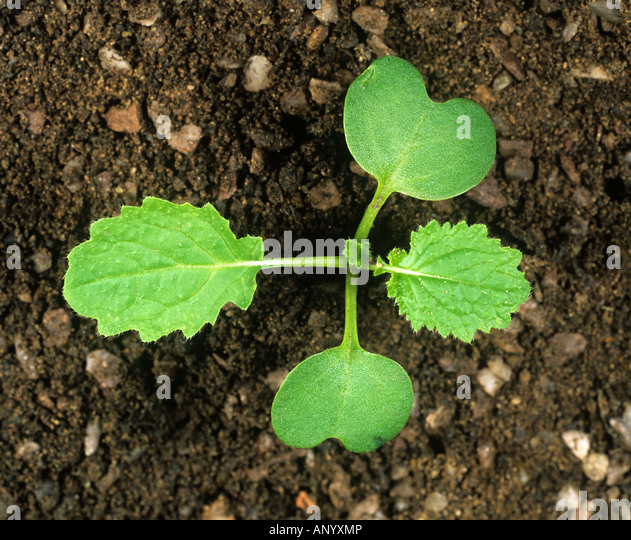 Turnip seedling with two true leaves and cotyledons - Stock Image
