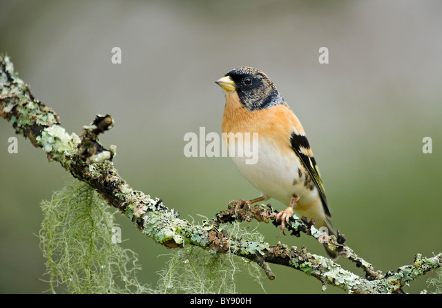 Brambling - Stock Image