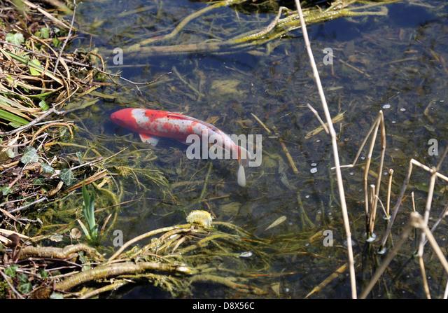 Koi fish pond lake water japan stock photos koi fish for Shallow koi pond