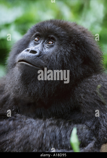 Female mountain gorilla Parc des Virungas Democratic Republic of Congo - Stock-Bilder