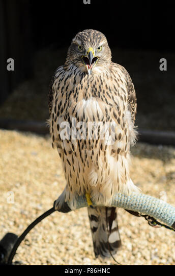 A Northern Goshawk (gentilis Accipiter) taken in controlled conditions at Millets Farm Falconry, Frilford, England, - Stock Image