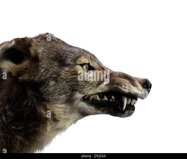 Wolf Growling - Stock Image