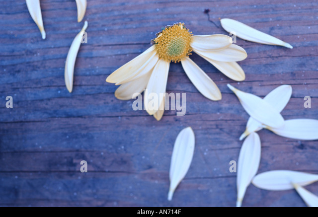 Flower petals torn off daisy on wooden table. 'He loves me, he loves me not' concept. - Stock-Bilder