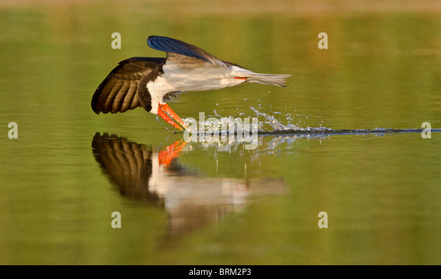 African skimmer skimming while flying low over the water - Stock-Bilder