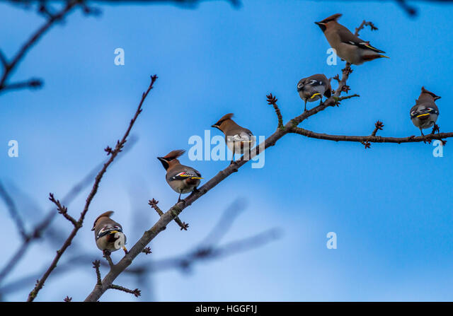 Ilkley, West Yorkshire, UK. 9th January 2017. Erratic winter migrant, the waxwing, visits Yorkshire town centre - Stock Image