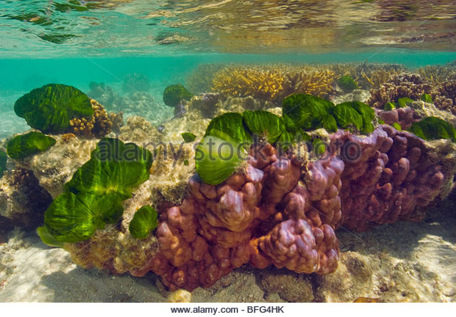 Green algae colonizing bleached coral, Great Barrier Reef, Australia - Stock Image