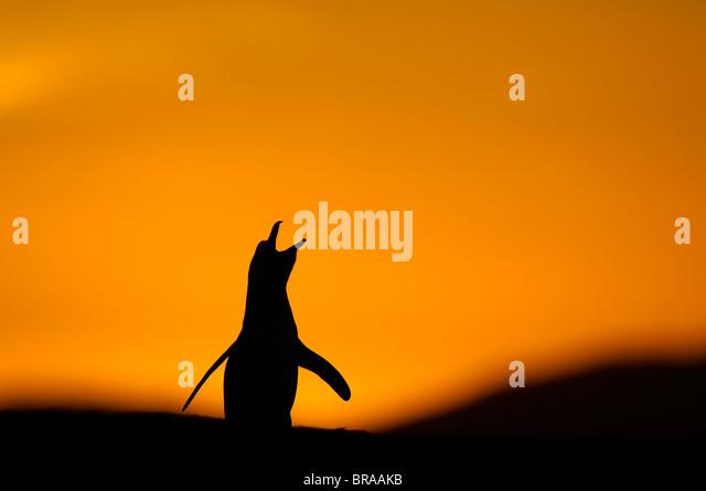 Magellanic penguin {Spheniscus magellanicus} silhouette calling at sunset,  Falkland Islands. - Stock-Bilder