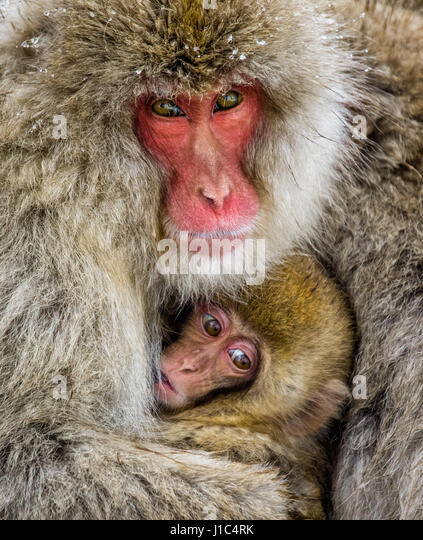 Mom with a baby of the Japanese macaque are sitting near the stones. Japan. Nagano. Jigokudani Monkey Park. An excellent - Stock Image