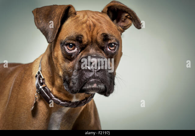 Boxer dog with serious expression in studio. - Stock Image