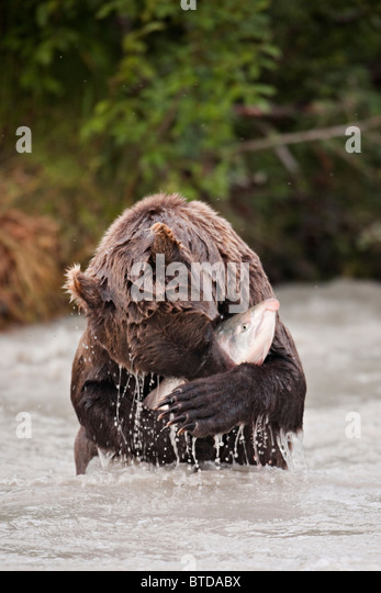 Brown bear catching and eating a large Coho salmon in the Copper River, Chugach National Forest, Southcentral Alaska - Stock Image