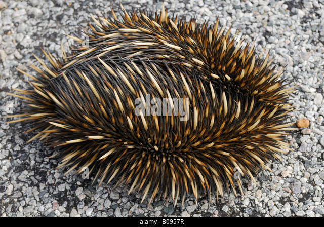 Spiny Anteaters, The - Current