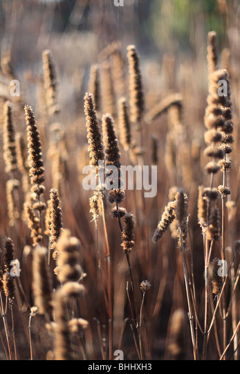 Seed heads of Veronicastrum virginicum in low winter sunshine - Stock Image