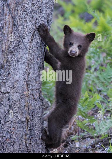 American Black Bear (Ursus americanus) Cub climbing a tree - Stock Image