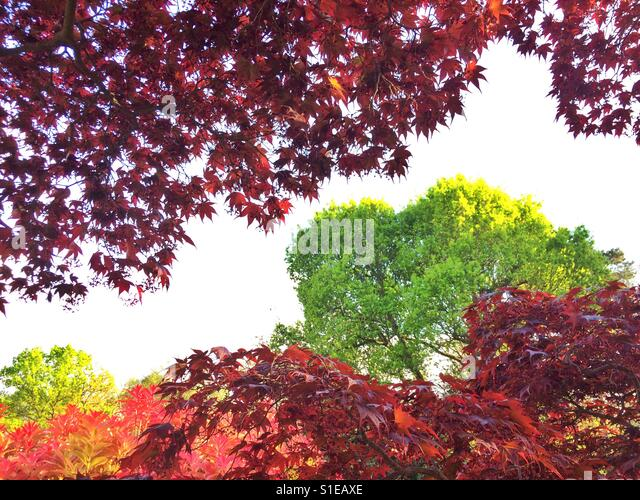 Mixed woodland red maple and green oak, Surrey, UK. - Stock Image