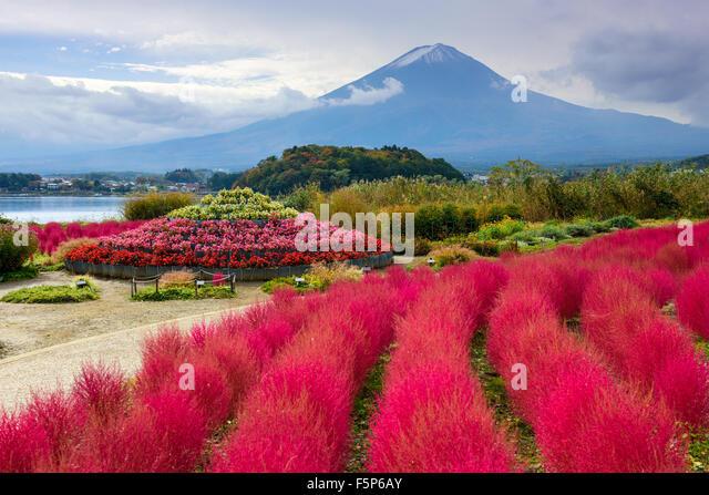 Fuji Mountain, Japan with kokia bushes at Oishi Park. - Stock Image