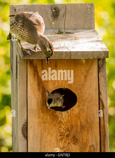 Female Wood Duck watching her new born duckling flying out of the nest. Idaho, USA - Stock Image