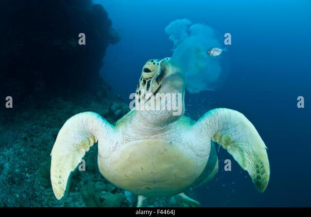 Green turtle (Chelonia mydas) feeding on jellyfish. Juvenile mackerel still hides beside the jellyfish about to - Stock Image
