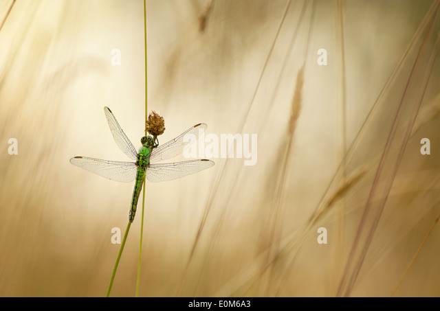 A Green Darner dragonfly waits for the warning rays of the morning sun, Oregon, USA (Anax junius) - Stock Image