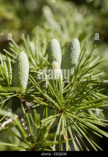 Cedar of Lebanon (Cedrus libani) cones in early autumn - USA - Stock Image