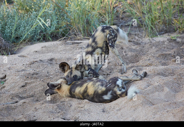 African wild dogs fighting, Krueger National park, South Africa, Africa - Stock Image