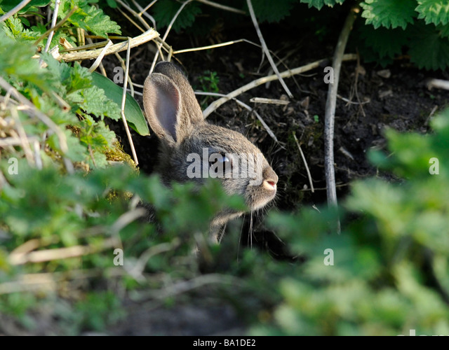A small rabbit hiding under a bush near its home - Stock Image