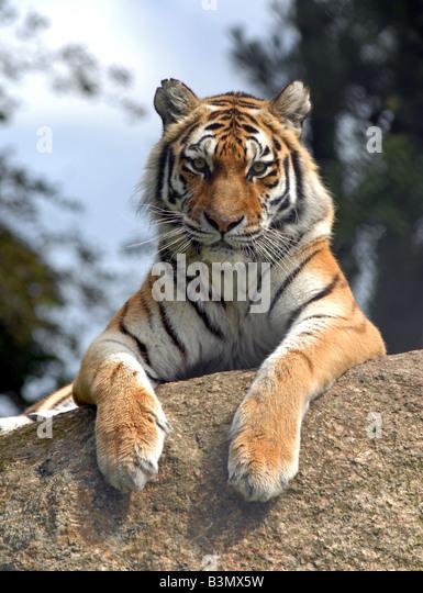 Siberian Tiger - Stock-Bilder