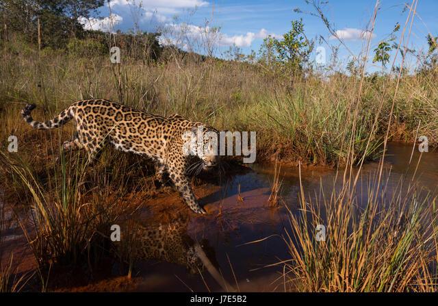 A Jaguar explores a water creek in the Brazilian Cerrado - Stock Image