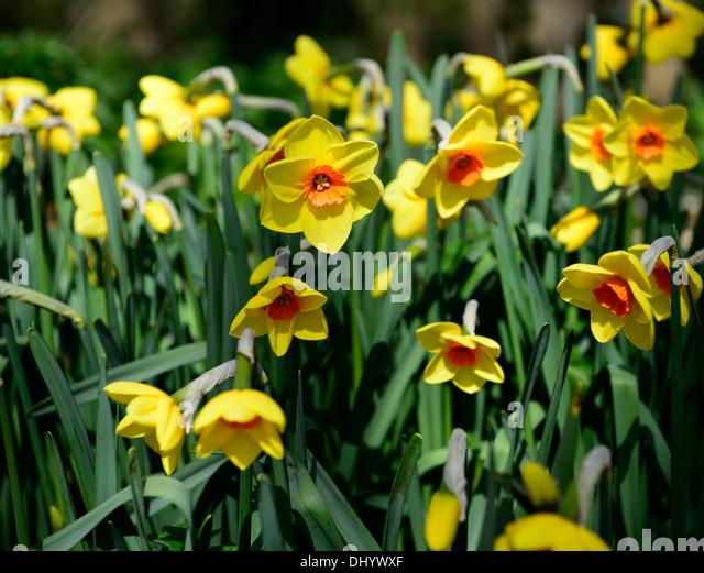 narcissus cheer leader yellow orange daffodil spring bloom blossom flower flowering - Stock Image