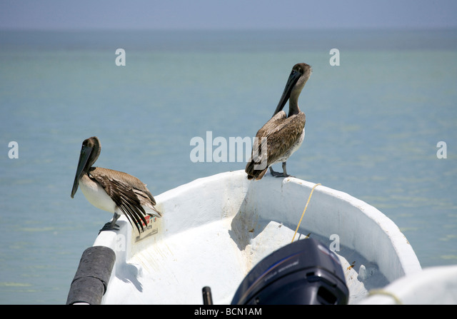 Two Brown Pelicans Pelecanus occidentalis perched on a boat, Holbox island, Quintana Roo, Yucatán Peninsula, - Stock Image