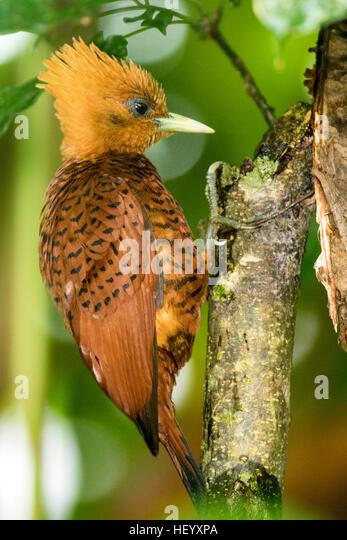 Chestnut-colored Woodpecker female (Celeus castaneus) - Boca Tapada, San Carlos, Costa Rica - Stock Image