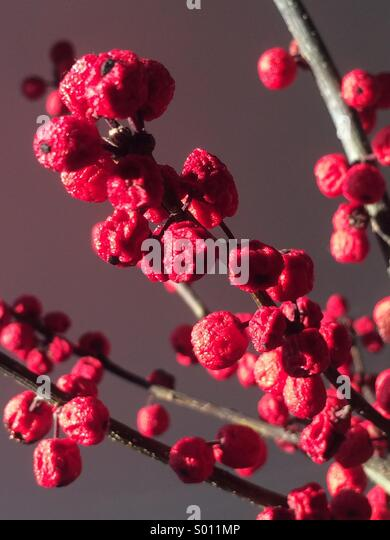 Wrinkled close up of ilex berries on branch - Stock Image