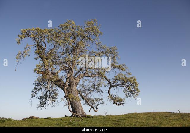 Black Oak Tree ~ California black oak stock photos