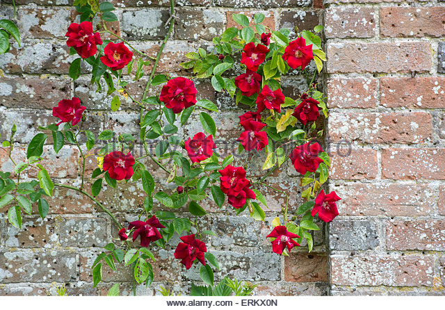 how to grow climbing roses on a wall