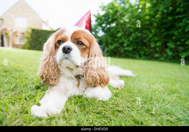 Dog wearing party hat lying on grass - Stock Image