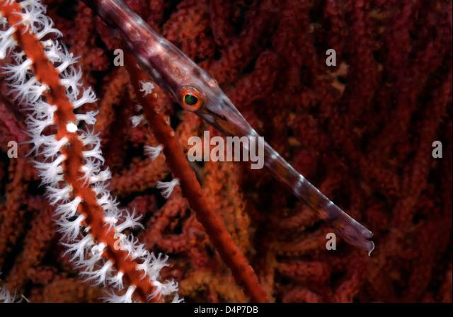 Trumpetfish, Aulostomus maculatus between Sea Fan Subergorgia mollis Loloata Island, Papua New Guinea, Coral Sea - Stock Image
