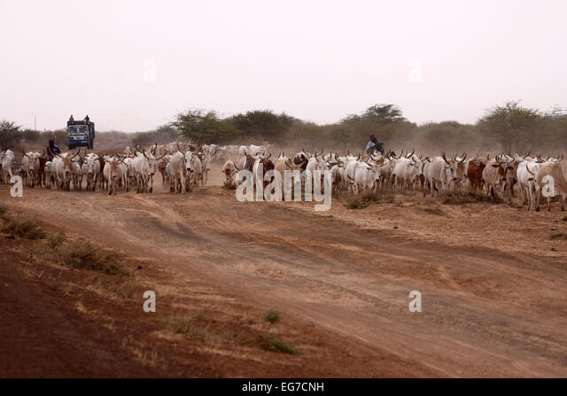 Domestic cattle herd being driven along track in Senegal - Stock Image