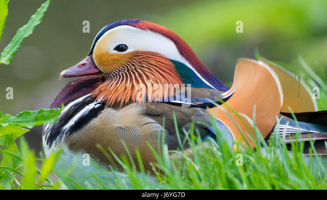 Aix galericulata (Mandarin duck) drake in mating plumage laying on grass in late Spring/Early Summer in West Sussex, - Stock Image